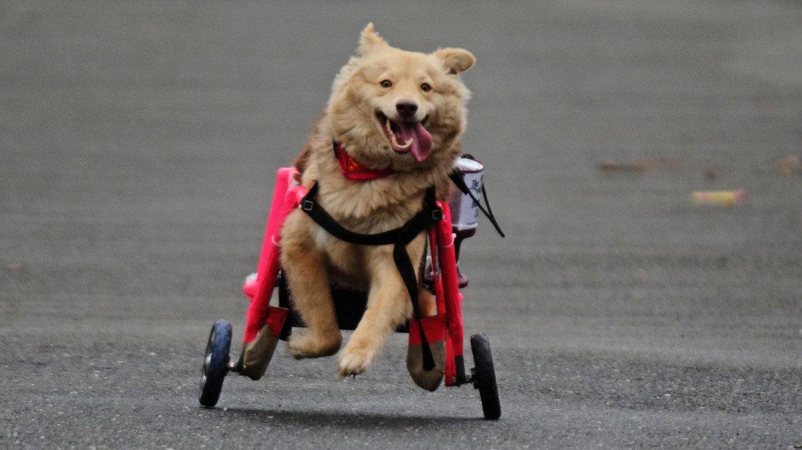 Пес на інвалідній колясці