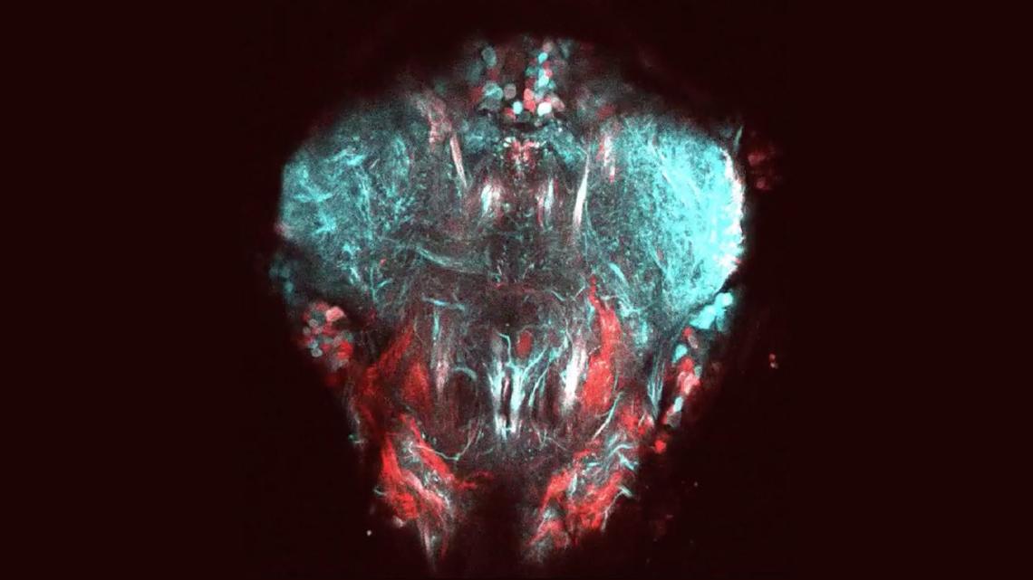 Новий метод спостереження за дрозофілами допоможе розвитку робототехніки
